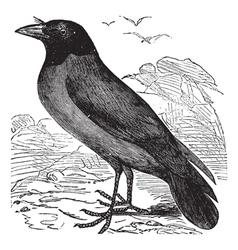 Hooded Crow vintage engraving vector image