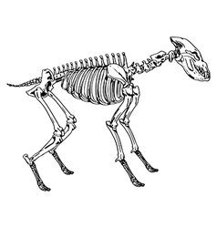 Skeleton of a hyena vector