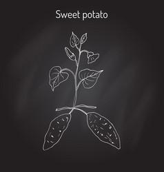 sweet potato ipomoea batatas vector image