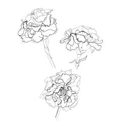 carnation vector image