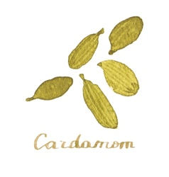 Watercolor cardamom on the white background vector