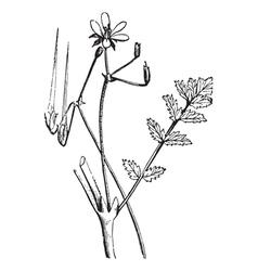 Common Storks-bill vintage engraving vector image