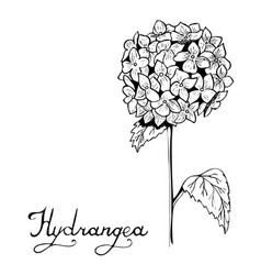 hydrangea flower botany vector image vector image
