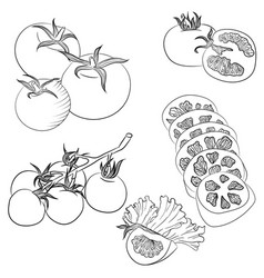 line art various tomatoes vector image vector image