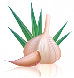 garlic with clove  vector image