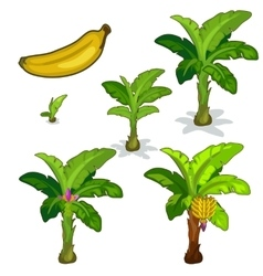 Planting and cultivation of banana palm vector