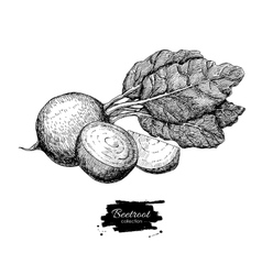 Beetroot hand drawn Vegetable engraved vector image vector image