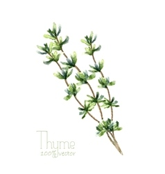 Watercolor thyme vector