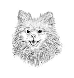 Sketch spitz hand drawn face of dog vector