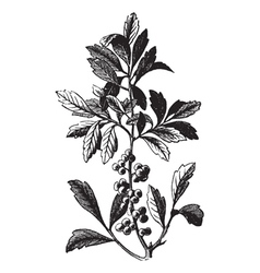 Wax myrtle vintage engraving vector
