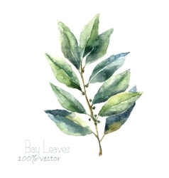 Watercolor bay leaf vector