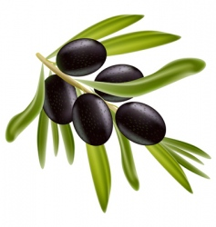 a branch of black olives vector image