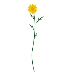Yellow Daisy Blossom on A White Background vector image vector image