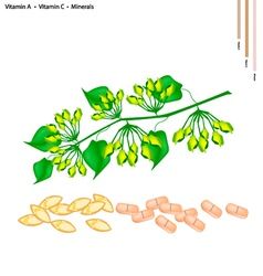 Cowslip creeper flower with vitamin a and c vector