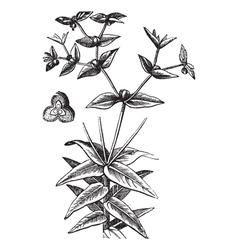 American Ipecac vintage engraving vector image vector image