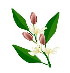 Wine Magnolia Flower or Magnolia Figo Flower vector image