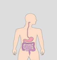 Gastrointestinal tract vector image vector image