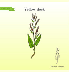 Yellow dock rumex confertus or parell patience vector