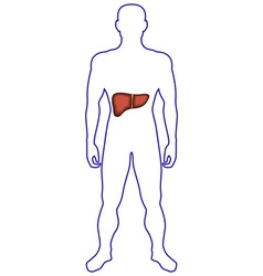 Liver in human body vector