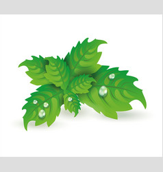 fresh mint leaves isolated on white vector image vector image