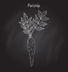 Parsnip root vegetable vector