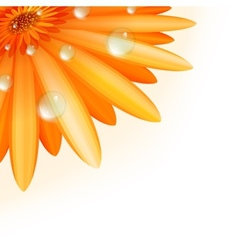 Gerber petals with water drops plus EPS10 vector image vector image