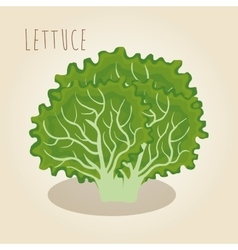 Fresh lettuce vegetarian food vector