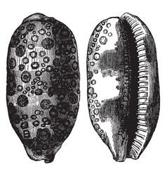 Cypraea argus vintage vector