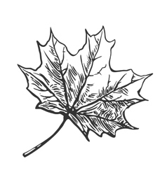 Maple leaf vintage engraved vector
