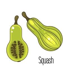 Green squash or zucchini vector