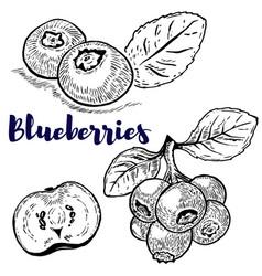 Set of blueberries on white background design vector