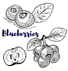 set of blueberries on white background design vector image vector image