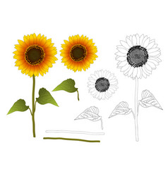 sunflower outline vector image vector image