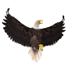 Bald eagle isolated on white background vector