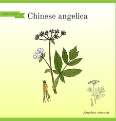 Angelica sinensis or dong quai or female ginseng vector