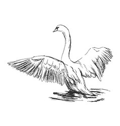 Hand sketch swan taking off vector