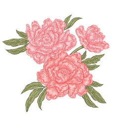 hand drawn peony flowers isolated on white vector image