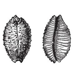 Cypraea madagascariensis vintage vector