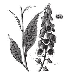 Foxglove vintage engraving vector image vector image