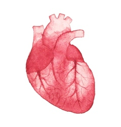 Watercolor realistic human heart on the white vector