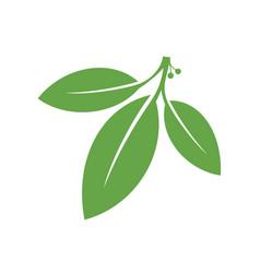 bay leaf vector image vector image