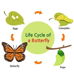 Butterflylifecycle vector