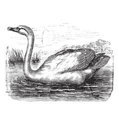 Mute swan vintage engraving vector