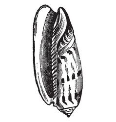 Oliva erythrostoma vintage vector