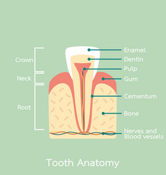 incisor tooth anatomy structure vector image vector image