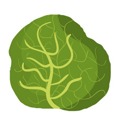 Cabbage fresh vegetable icon vector