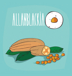 set of isolated plant allanblackia seeds herb vector image vector image