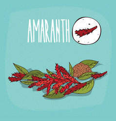 Set of isolated plant amaranth flowers herb vector