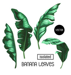 banana leaves isolated on a white background vector image