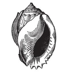 Cassis glauca vintage vector